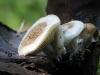 Астерофора дождевиковидная (Asterophora lycoperdoides)