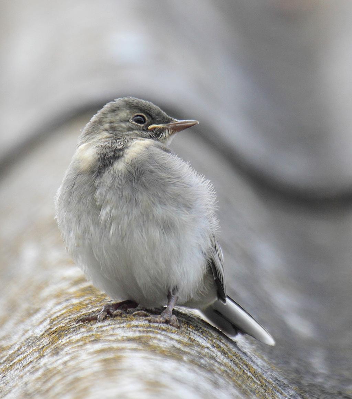 Птенец белой трясогузки