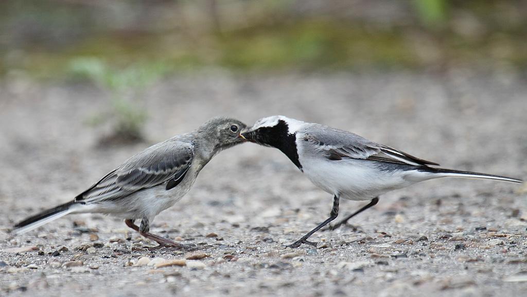 Родители периодически заталкивают насекомых в открытый рот птенца
