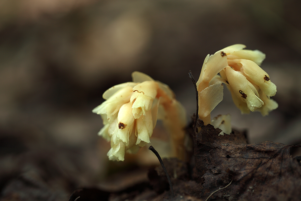 Подъельник обыкновенный, Hypopitus monotropa
