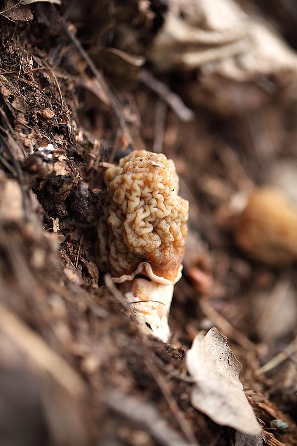 Сморчковая шапочка. (Verpa bohemlca).