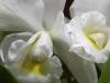 Cattleya mix