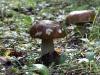 Белый гриб Boletus edulis