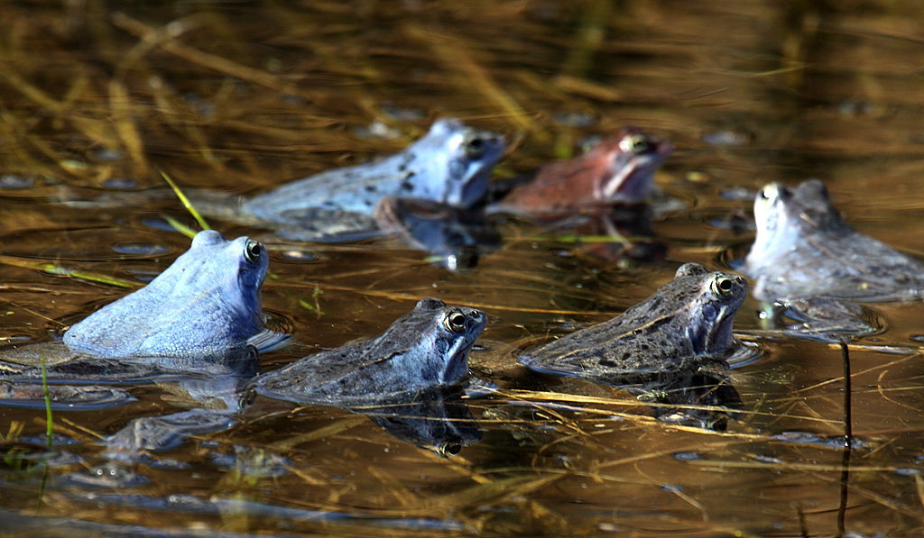 Нерест лягушки остромордой Rana arvalis1