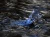 Нерест лягушки остромордой Rana arvalis
