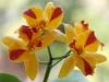 Орхидея Rhyncattleanthe Burana Beauty