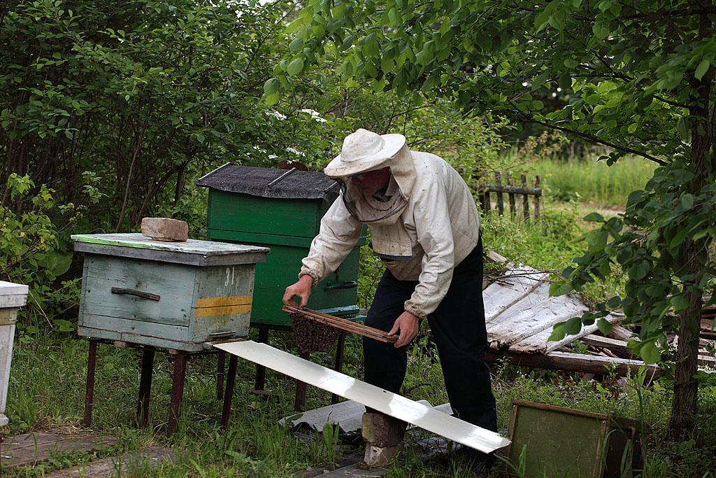 Стряхиваю часть пчёл у летка