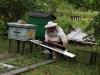 Пчёлы начинают заходить в улей