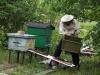 Стряхиваю на сходни остатки пчёл из ящика