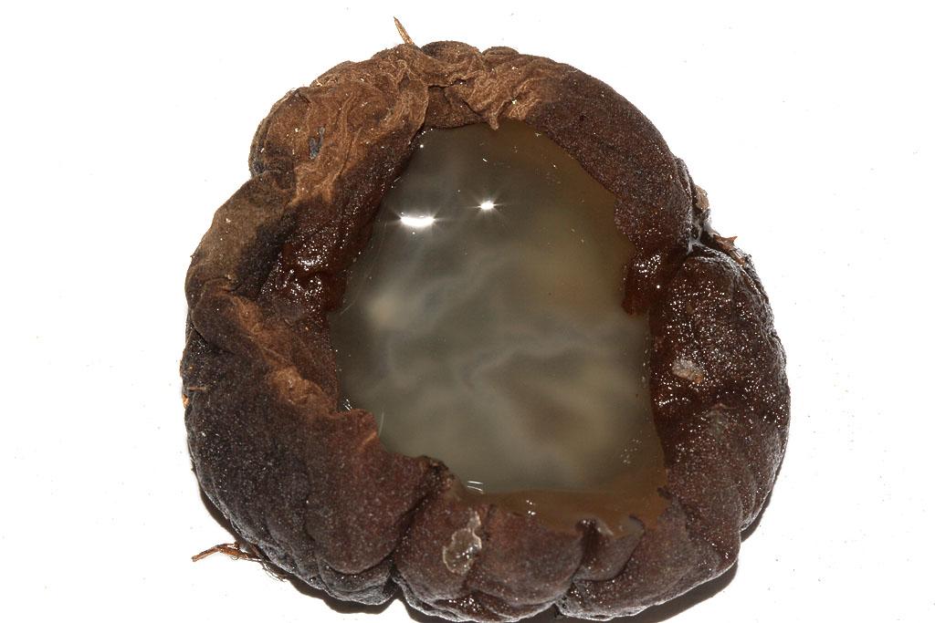 Саркосома шаровидная Sarcosoma globosum