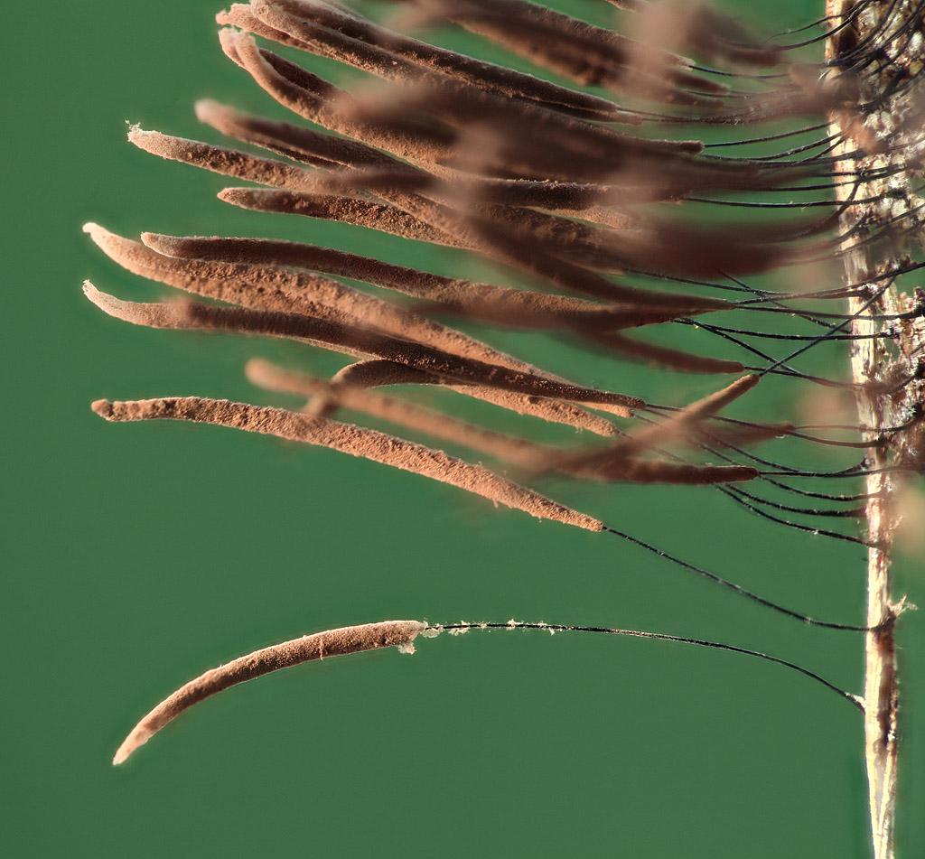 Стемонитис бурый Stemonitis fusca Roth 1787