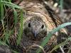 Тетёрка на гнезде