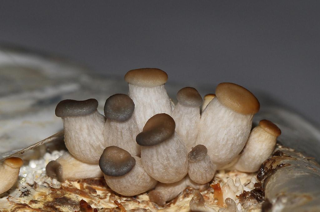 Вырастить белые грибы в домашних условиях