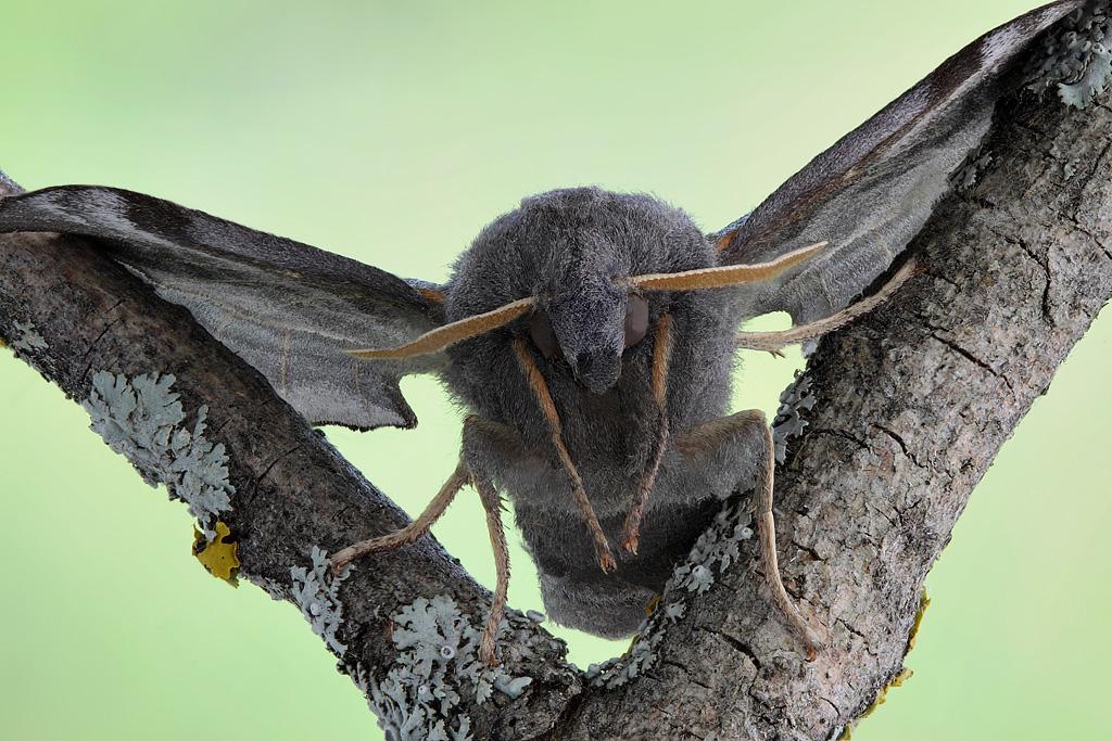 Ночные Бабочки Бражник