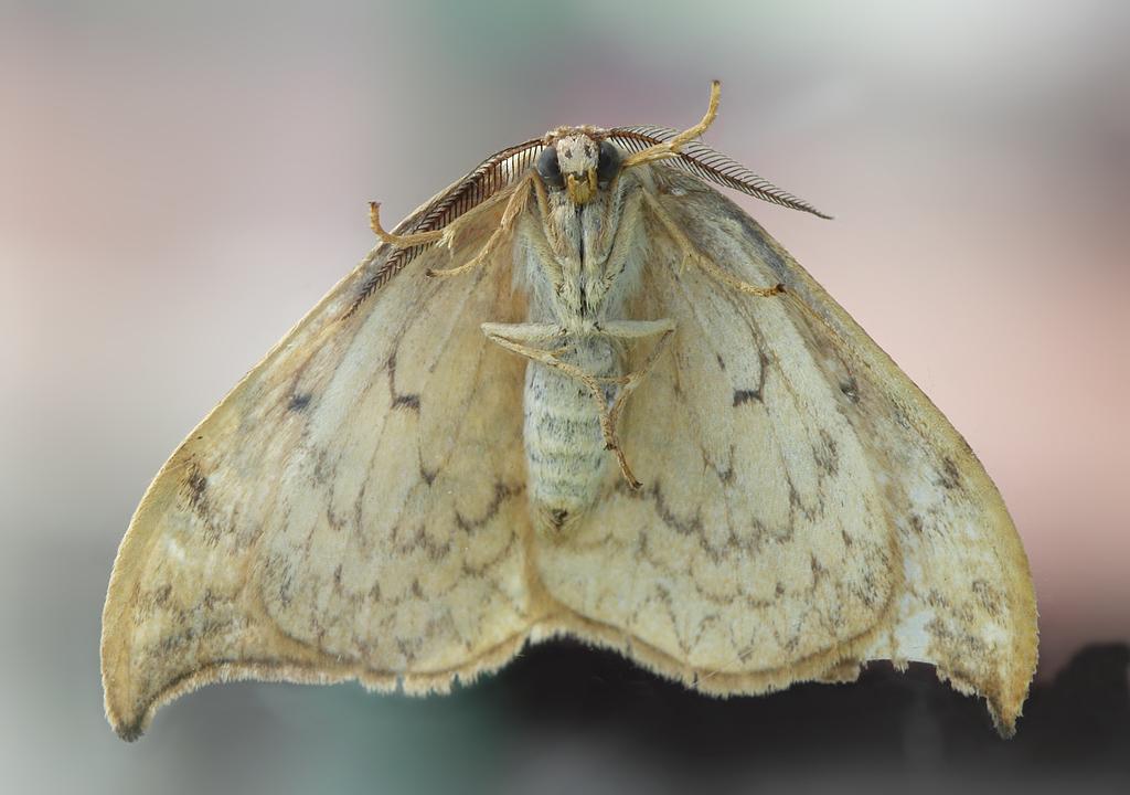 Бабочка википедия ночная